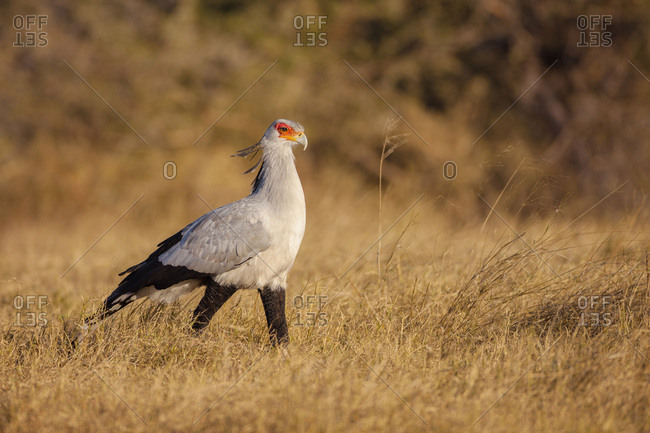 Secretary bird (Sagittarius serpentarius) walking through grassland at the Okavango Delta in Botswana, Africa