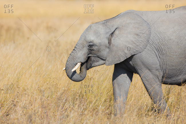 Close-up of an African elephant (Loxodonta africana) walking through grasslands at the Okavango Delta in Botswana, Africa