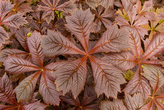 Close-up of Giant saxifragaceae (Rodgersia podophylla) plant in Dunvegan on the Isle of Skye, Scotland