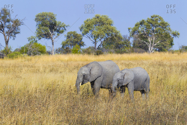 African elephant and calf (Loxodonta africana) standing in a grassy field at the Okavango Delta in Botswana, Africa