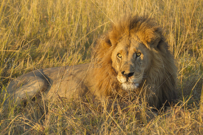 Portrait of an African lion (Panthera leo) lying in the grass at the Okavango Delta in Botswana, Africa