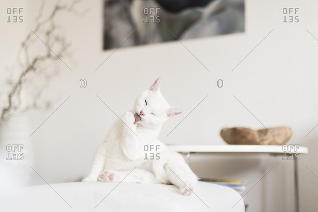 White cat licking paw in the living room