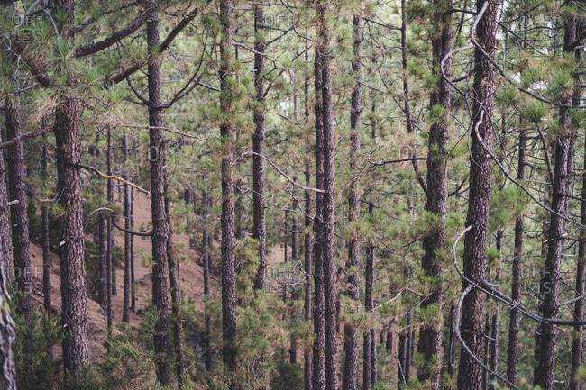 Spain- Tenerife- Corona Forestal Nature Park- Tree trunks