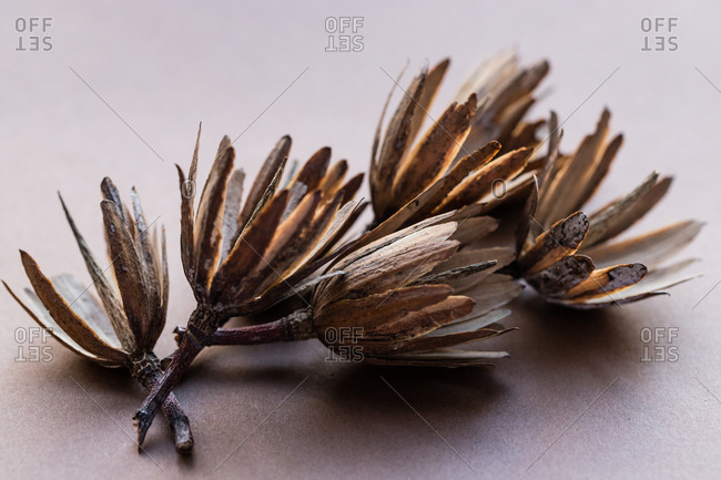 Dried tulip tree seed pods