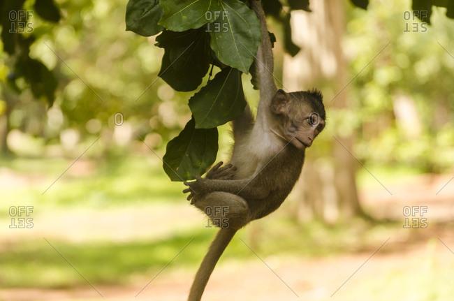 Monkeys in Angkor Wat