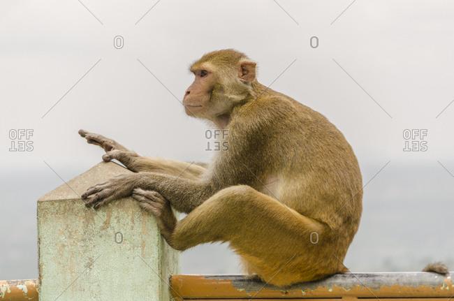 Burmese monkey in Popa monastery, Bagan, Myanmar