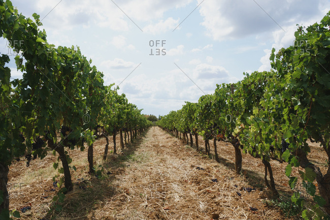 Grape vines in a vineyard in Tuscany, Italy