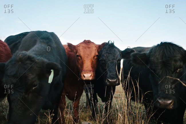 Black and brown cows close up