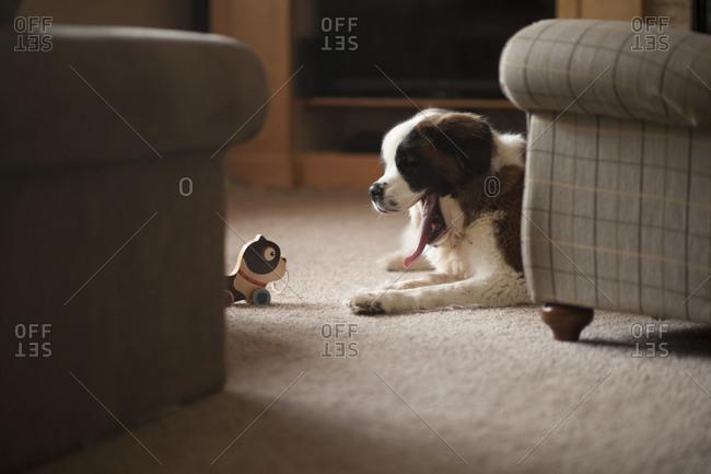 Dog yawning while sitting on carpet at home