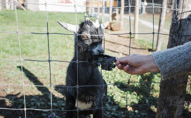 Cropped hand of woman feeding leaf vegetable to goat through fence at farm