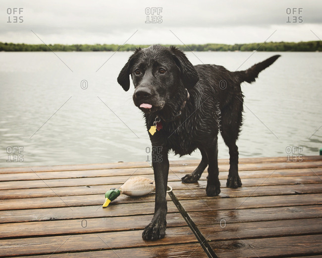 Wet dog on pier against lake