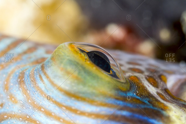 Close-up of Black Saddled Toby (Canthigaster Valentini) in sea