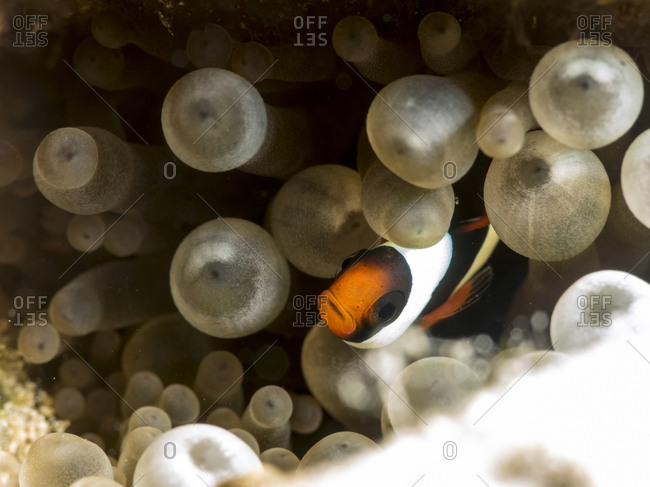 Close-up of Clark's Anemonefish (Amphiprion clarkii) amidst corals