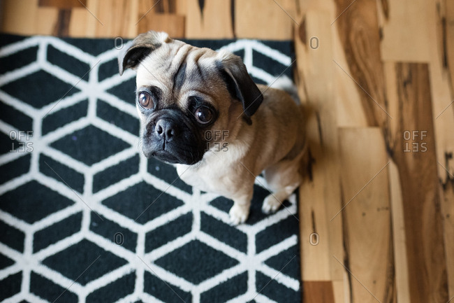 Small pug dog sitting on a patterned rug