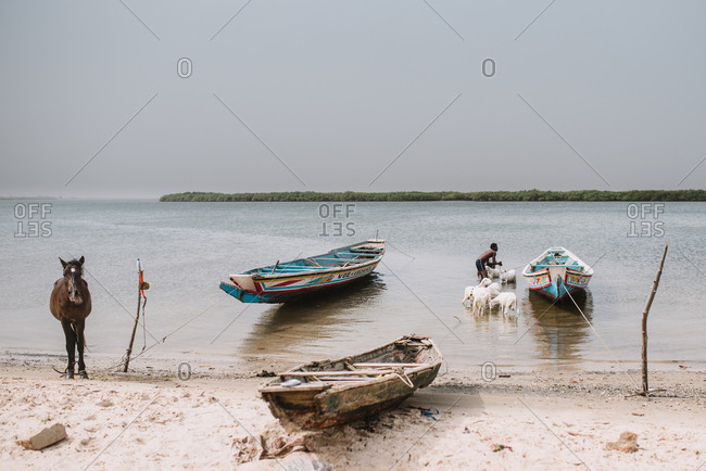 Dakar, Senegal - November 30, 2017: Anonymous black man on bank of river with shabby boats pasturing goats