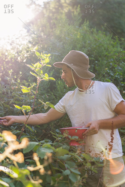 Young man in casual clothing in garden collecting berries from bushes