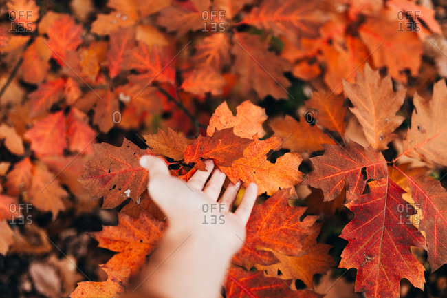 Crop person touching gently colorful red leaves of autumnal tree