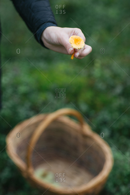 Crop woman showing small orange mushroom while collecting mushrooms in woods