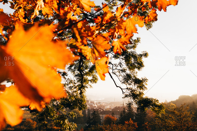 Colorful leaves of fall tree in sunlight on background of cityscape