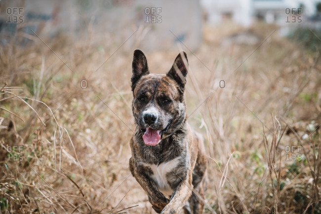 Stray dog running through dry grass in field with its tongue out