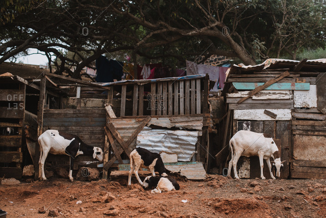 Cattle standing near old wooden sheds on dry soil