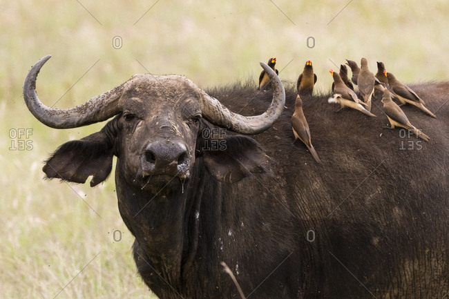 Yellow-billed oxpeckers (Buphagus africanus) on the back of an African buffalo (Syncerus caffer), Tsavo, Kenya, East Africa, Africa