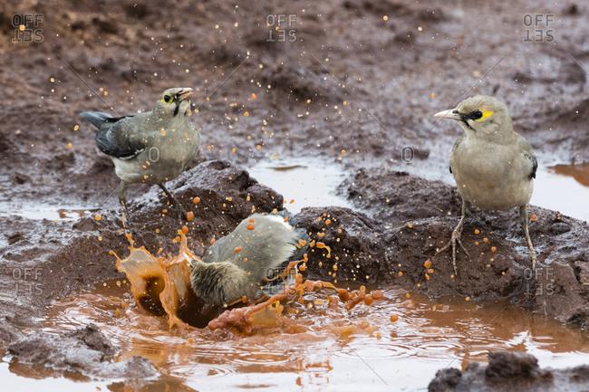 Wattled starlings (Creatophora cinerea) in a water pool, Tsavo, Kenya, East Africa, Africa