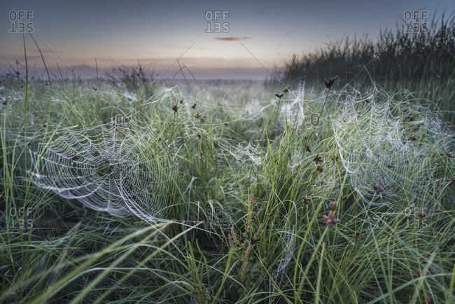 Dew covered orb web in mist at dawn, Elmley Marshes National Nature Reserve, Isle of Sheppey, Kent, England, United Kingdom, Europe
