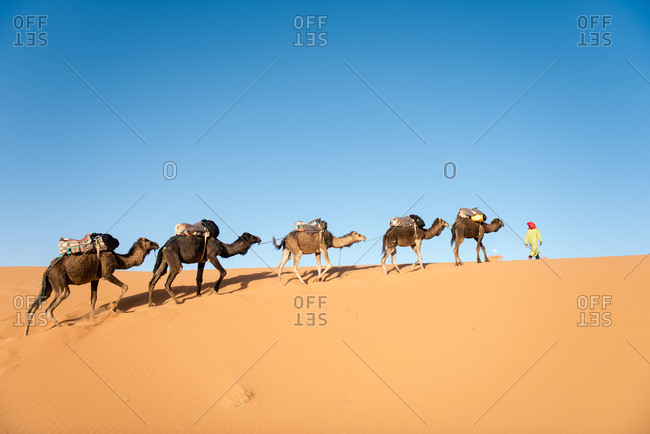 Man leading camel train, Erg Chebbi, Sahara Desert, Morocco