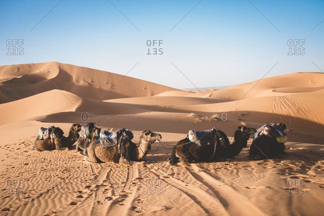 Camels resting in sand dunes in the Erg Chebbi, Sahara Desert, Morocco