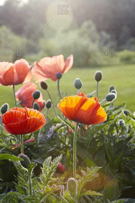 Red poppies in sunlight