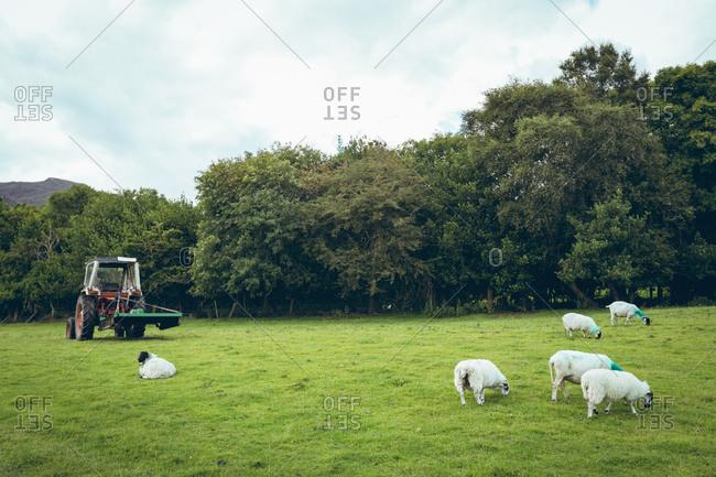 Herd of sheep grazing in the green farm