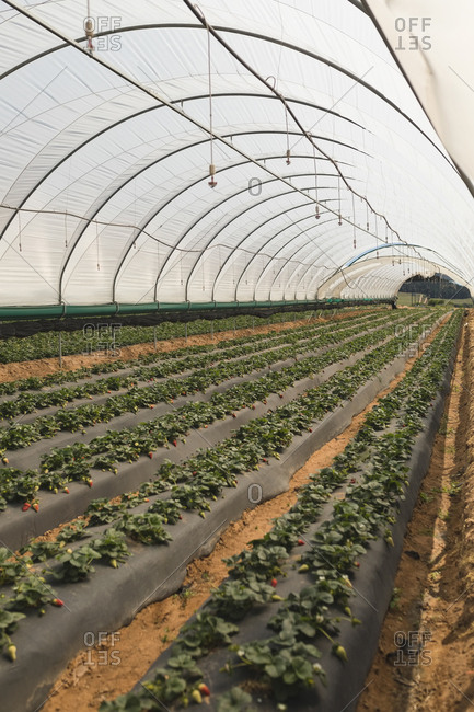 Rows of strawberry plantation in greenhouse