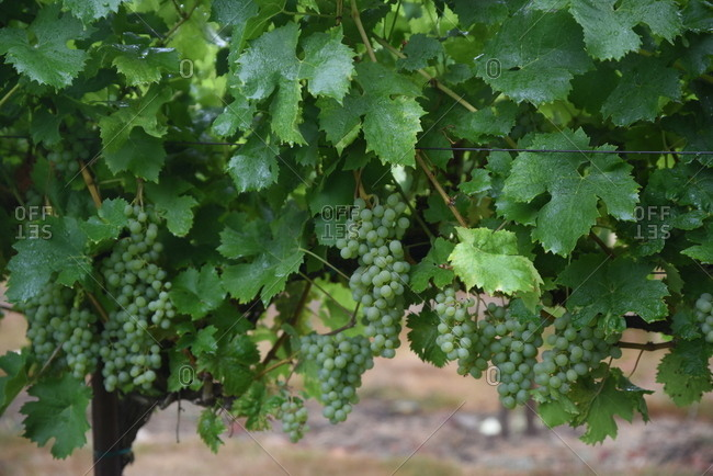 Close up of green grapes growing in a vineyard