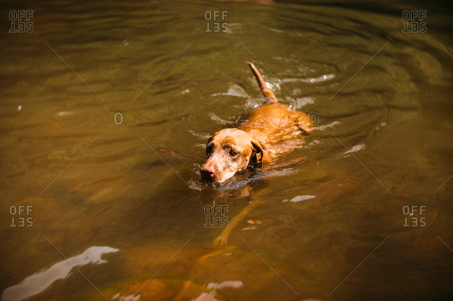 Vizsla dog in a lake swimming