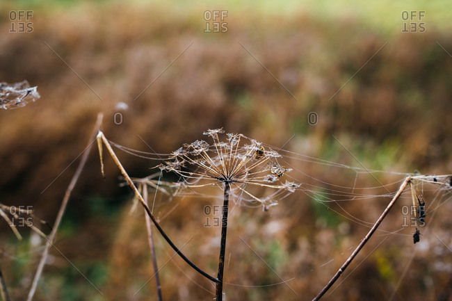 Dried flower heads with spider webs