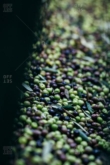 An abundance of harvested olives