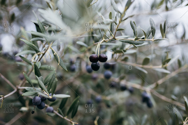 Black olives growing on tree