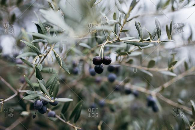 Black olives growing on tree