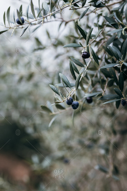 Tree branch with black olives