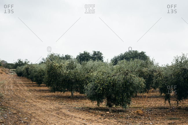 Trees on olive farm