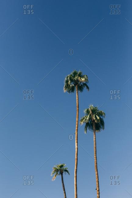 Tall palm trees against blue sky