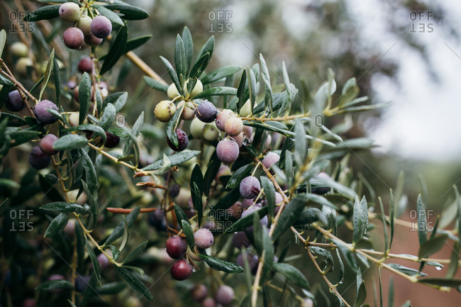 Black and green olives growing on tree