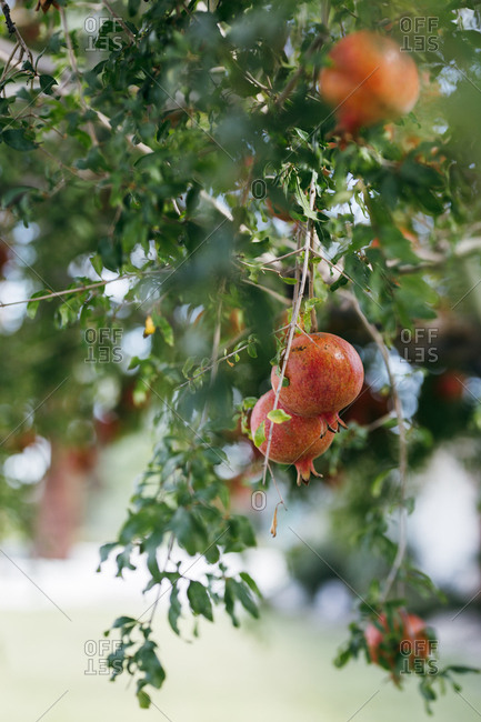 Pomegranates growing on tree