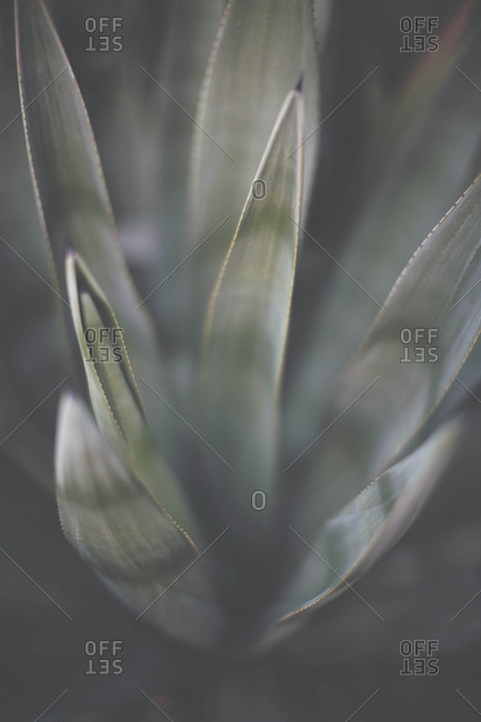 Detail shot of sage green agave plant in the desert