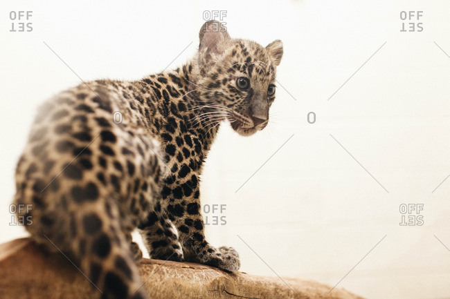 Baby leopard cub sitting on a branch in front of a white background