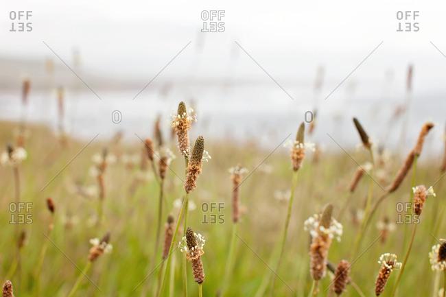 Wildflowers on a beach, San Luis Obispo, California