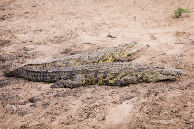 Nile Crocodile (Crocodylus niloticus) on the banks of the Grumeti River in the Serengeti National Park, Tanzania