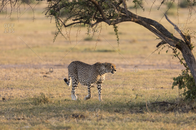 A cheetah (Acinonyx jubatus) walks in the early morning sunlight in the Serengeti National Park, Tanzania