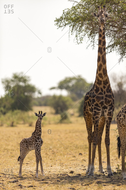 A baby giraffe (Giraffa camelopardialis) with fresh umbilical cord stands next to its mother in the Serengeti National Park, Tanzania